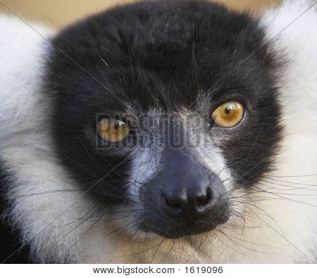 Engangered Black & White Lemur