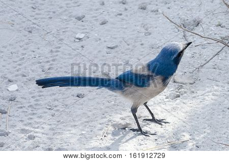 A SCRUB JAY POSING ON A WHITE PATH LOOKING IN THE DISTANCE