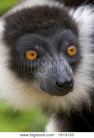 Black & White Lemur