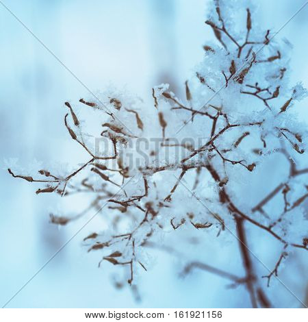Beautiful fragile frosted wild flowers in winter
