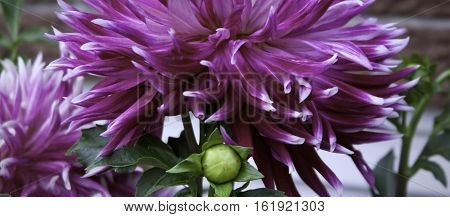 Single purple and mauve Dahlia with brick wall foliage and buds in the background shot in Montreal, Quebec, on a slightly overcast but bright day in late August.