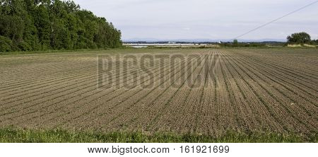 Wide, long, right side viewpoint, of straight rows of a plowed field with rows of sprouts. Trees mountains and the St. Lawrence River in the distance near Cornwall, Ontario, on a sunny day in June with light clouds.