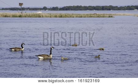 Family of Canada Geese with their goslings swimming in the St. Lawrence River near Cornwall, Ontario, with trees and mountains across the water on a sunny day in June with light clouds.