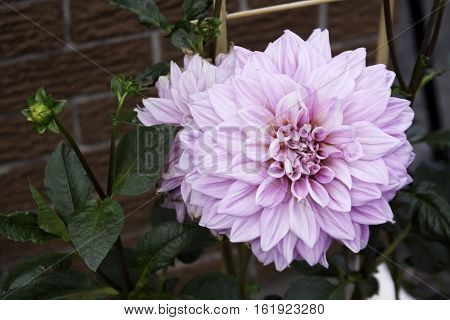 Single pink Dahlia with brick wall foliage buds and bamboo stake in the background shot in Montreal, Quebec, on a slightly overcast but bright day in late August.