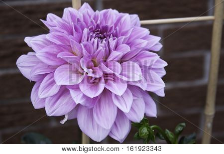 Single pink and mauve Dahlia with brick wall foliage buds and bamboo stake in the background shot in Montreal, Quebec, on a slightly overcast but bright day in late August.