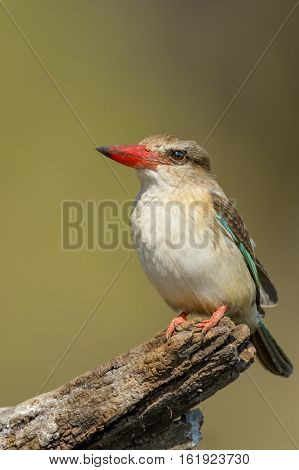 Brown-hooded Kingfisher on tree trunk in Chobe National Park, Botswana
