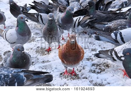 During winter on white snow an orange pigeon is standing guard and looking at us like he's protecting his pigeon flock.