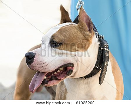 dog breed Staffordshire Terrier red and white close-updog