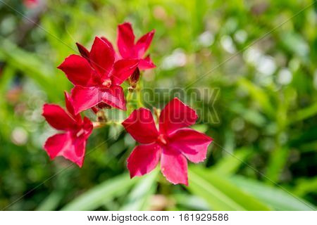 Beautiful lush red flower of mediterranean oleander or Nerium