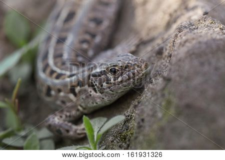 macro sand lizard shot with natural background
