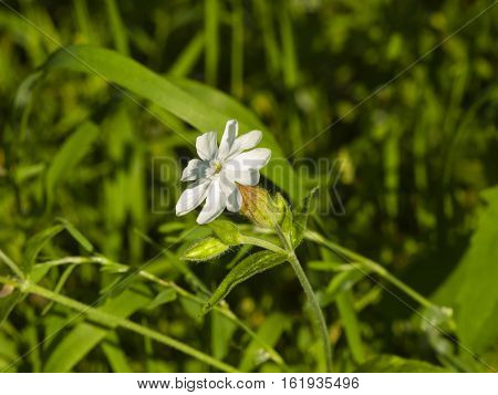 Blooming soapwort or soapweed crow soap wild sweet William Saponaria officinalis flower close-up selective focus shallow DOF