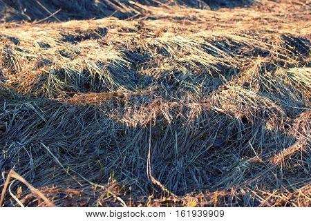 dry yellow grass on the field background