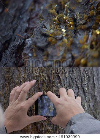 tar drops on the textured tree bark