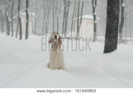 Snow spotty setter sitting in the winter city park on snowy smowflakes backfround