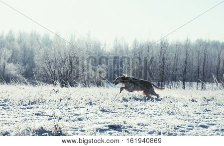 Pure breed spotty dog wih long hair of hunting breed running in the frozen winter field