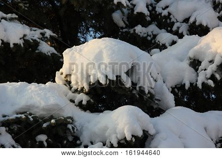 Fresh white snow piling up on a pine tree