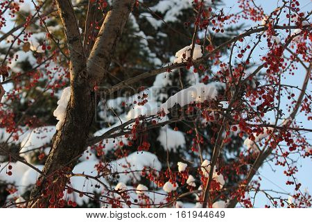 Fresh white snow on crab apple drupes with blue sky