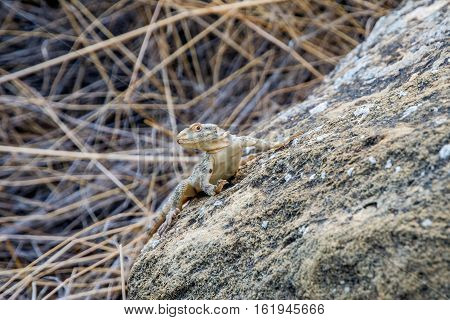 Small lizard in the rock outside in nature