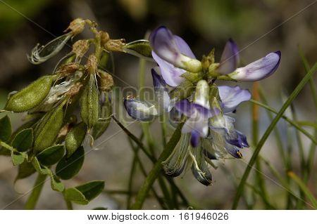 Alpine Milk-Vetch - Astragalus alpinus Alpine wild flower