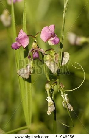 Broad-leaved Everlasting-pea - Lathyrus latifolius Pink Pea Flower