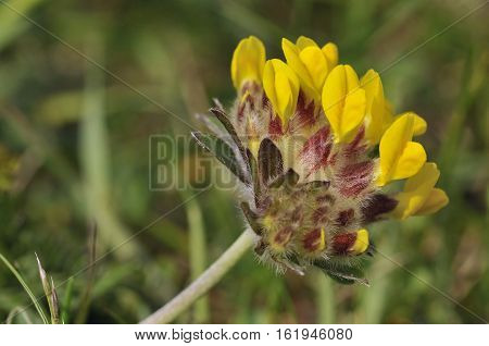 Kidney Vetch - Anthyllis vulneraria Yellow flower head