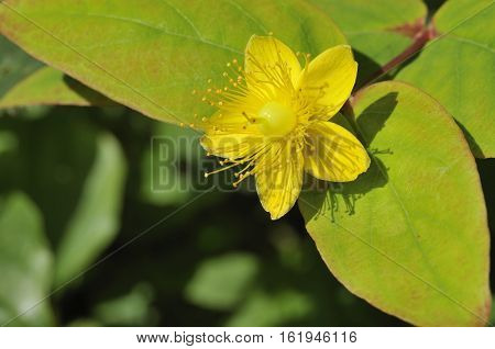 Tutsan - Hypericum androsaenum Yellow Flower & Leaves