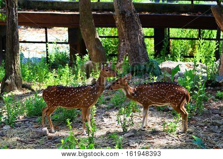 Deer in Thailand zoo wildlife protection animal and nature.