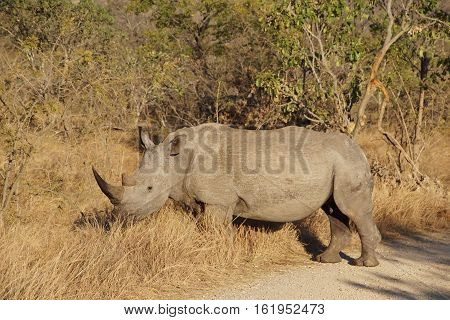 white rhino with a horn in the African bush and high orange grass
