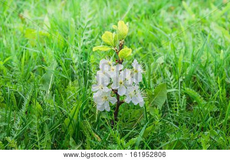 small sprout flowering plum tree with beautiful white flowers in a green lush grass spring background