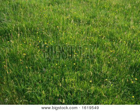 Buttercups & Grass