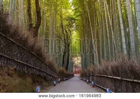 Arashiyama Bamboo Forest in Kyoto Japan, natural landscape