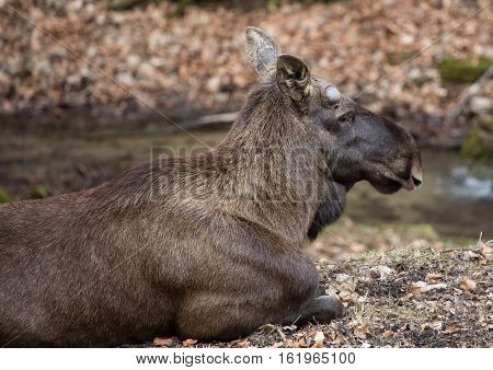 An Elk (alces Alces) At A German Deer Park In Summer