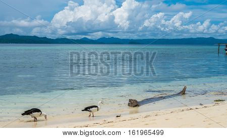 Local Black and White Ducks Feeding on the Beach of Kri Island. Gam in Background. Raja Ampat, Indonesia. West Papua