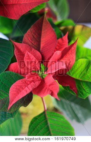 Christmas Poinsettia - Kind Of Christmas Home Plant. Red Poinsettia Leaves And Flowers
