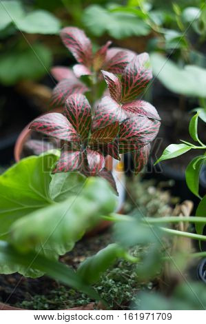 Fittonia home plant in flower pot rounded with home plants