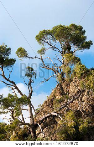 Maritime Pines Damaged by Storm. Cliffs of Portofino Genova Liguria Italy