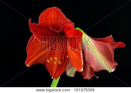 Close-up of red amaryllis flower. Zen in the art of flowers. Macro photography of nature.