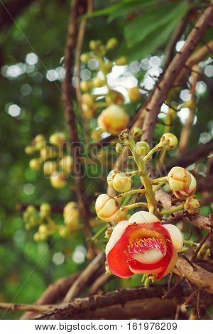 Cannonball Tree, Couroupita guianensis  Aubl flower with bokeh