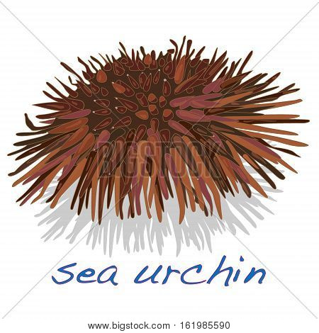 sea urchin image isolated white background .