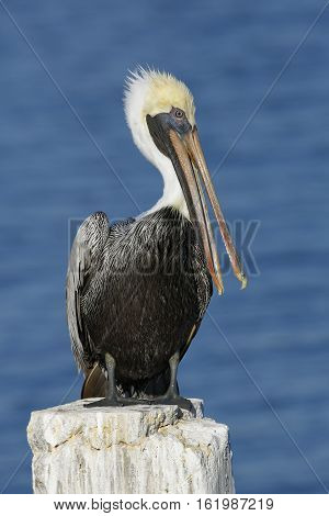 Brown Pelican Preening Its Feathers On A Florida Dock Piling