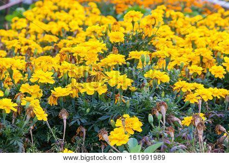 Marigold Flowers In Garden