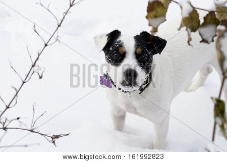 Cute Dog with puppy dog eyes covered in Fresh Falling Snow Dog on winter holiday portrait background with snowflakes all over face in winter with dried leaves and deep snow enjoying playing outside