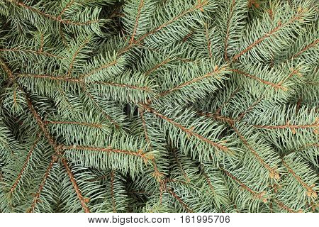 Winter composition - blue spruce tree twigs background