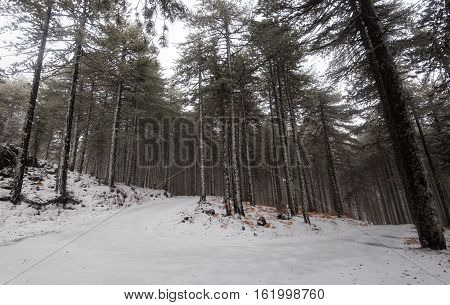 Winter forest frozen road cover in snow at Troodos mountains in Cyprus