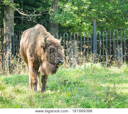 Brown bison walking on the grass in the daytime