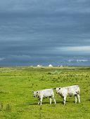 cows, The Mullet Peninsula, County Mayo, Ireland poster