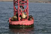 Sea lions lounging in the sun on a buoy. poster
