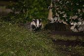 European badger (Meles meles) by sett in urban surrounding. Carnivore in family Mustelidae emerging from sett in graveyard in central Bath poster
