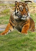This striking Sumatran Tiger was photograghed at a conservation for big cats in the UK. poster