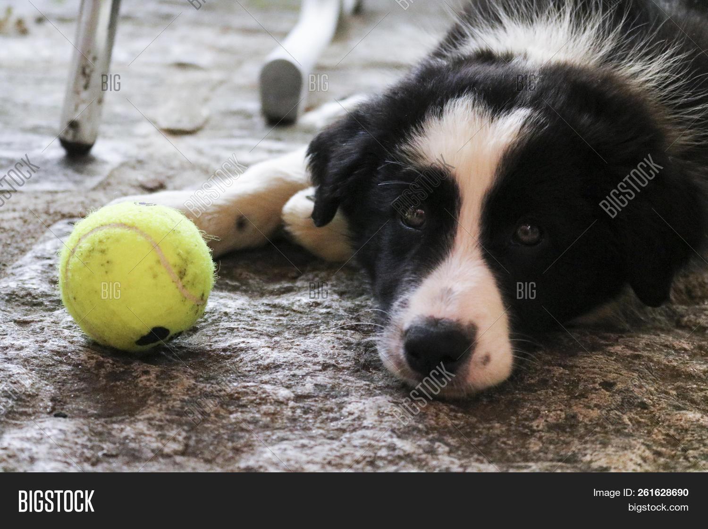 Border Collie Puppy Image Photo Free Trial Bigstock